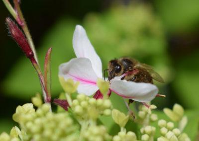 Biene-auf-Gaurablüte