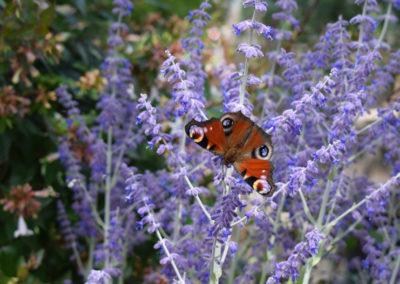 Schmetterling-auf-Perofskiablüte